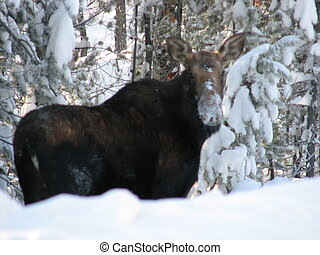 moose - canadian wildlife