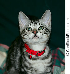 Tabby Kitten - A silver tabby kitten with a red collar