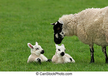 Loving Mother Sheep with Twins - Sheep standing in a field...