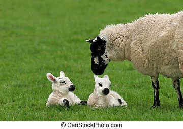 aimer, mère, mouton, jumeaux