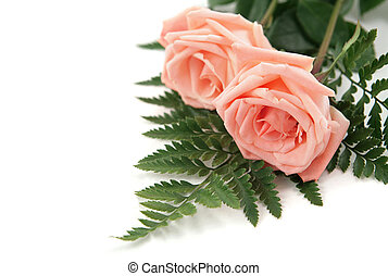 Pink Rose Background - Two perfect pink roses on a white...