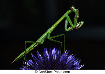 Camera Shy - Praying Mantis perched on a purple thistle...