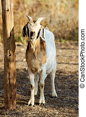 boer goat - boer female goat in the barn