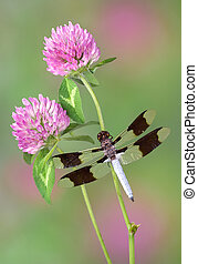 Dragonfly on clover - A dragonfly is perched on the stem of...