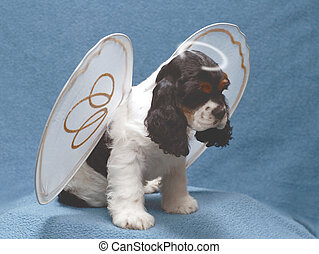 angel bunny - 9 week old cocker spaniel angel puppy with a...