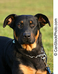attentive beauceron - portrait of attentive purebred french...