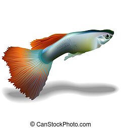 Guppy (Poecilia reticulata) - High detailed illustration