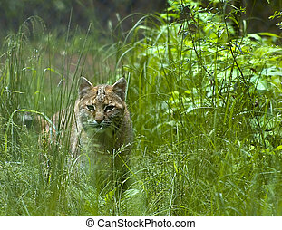 Bobcat in the long grass