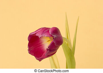 Single Tulip - Close up of a single Tulip against a plain...