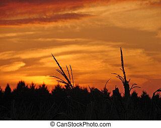 Crop Sunset - Intense sunset shot in farmer\\\'s field...