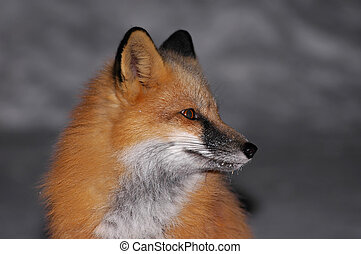 Red Fox Portrait - Beautiful Red Fox sitting in the street...