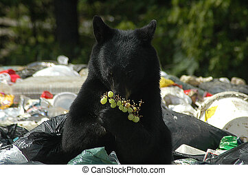 Bear with grapes - Black Bear scavenging in a garbage dump...