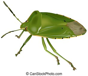 Green Stink Bug Acrosternum hilare - High detailed...