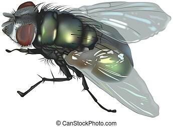 Blow fly Calliphoridae Family - High detailed illustration