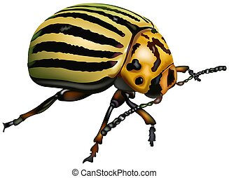 Potato beetle - Colorado potato beetle (Leptinotarsa...