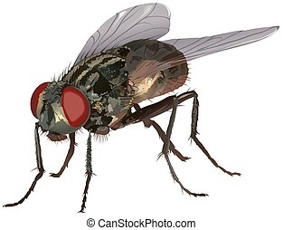 Housefly Musca domestica - High detailed illustration