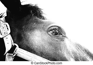 Clydesdale Face - Horse face