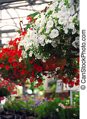 Greenhouse - Rows of flowers for sale in a greenhouse