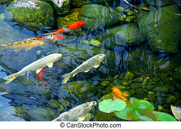 Koi pond - Koi fish in a natural stone pond