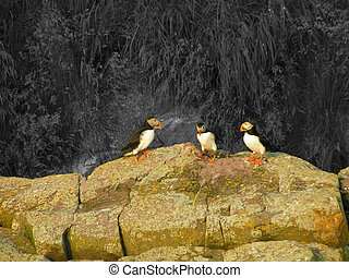 Puffins - three puffins stand on a rock near shore