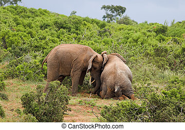 Helping tusk - Elephant helping another elephant to stand up