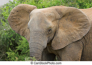 Elephant - Head shot of an african Elephant female