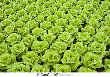 lettuce - rows of fresh green lettuce