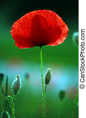 Poppy - Detail of poppy in poppy field