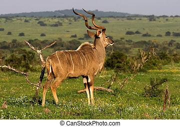 Kudu - Majestic Kudu male on the African grass plains