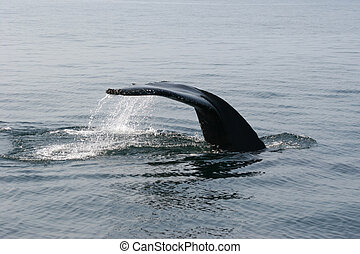 Whale Watching in Nova Scotia: Humpback is diving - sideview