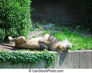 Lion Dozing on Back - A lion is asleep on his back with his...