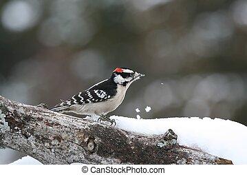 Downy Woodpecker - Taken from my back deck in Missouri