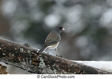 Female Juco - Also known as snow birds. Photo taken from my...
