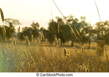 Australian dry landscape - Dry grasses pose a fire threat in...