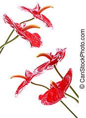 Bright Anthurium Flowers