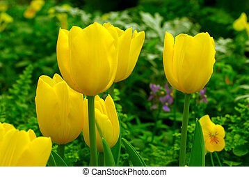 Yellow Tulip Garden in Spring - Yellow tulips contrast with...