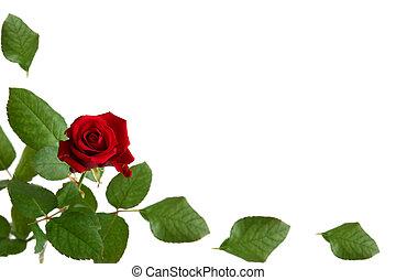 rojo, rosas