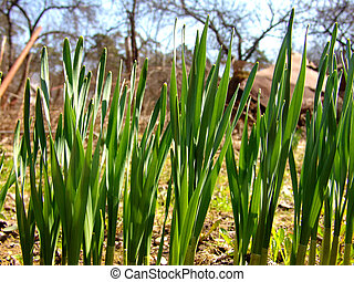 Onions - Onion plants in an orchard