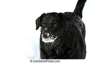 Snow Dog - Black labrador dog covered in snow outdoors