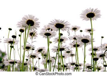 Daisies on white - Row of wild daisies isolated on white...