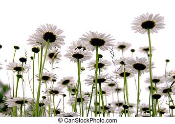 Daisies on white - Row of wild daisies isolated on white...