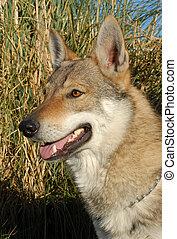 dog wolf - purebred dog wolf tchecoslovac: beautiful...