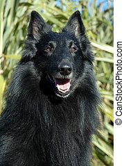 belgian shepherd - portrait of purebred black belgian...