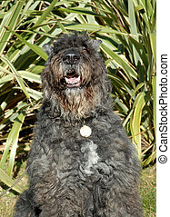 belgian bouvier sitting: beautiful watching big dog