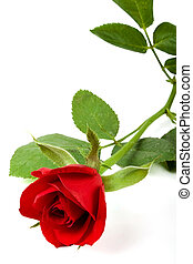 Valentine rose - Single valentines velvet rose on white,