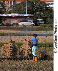 Agriculturist in a rice field - Japanese farmer doing...