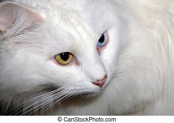 Portrait of Turkish Angora Cat - close up of white cat with...