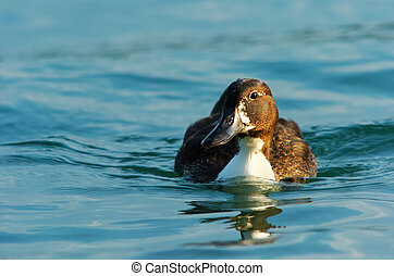 Duck in water - Brown duck with white neck juvenile Pochard...