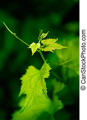 Young grapevine leaves in early summer, shallow DOF