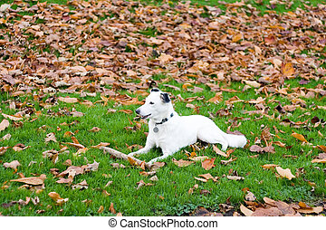 White Dog laid on the grass with Autumn leaves around.